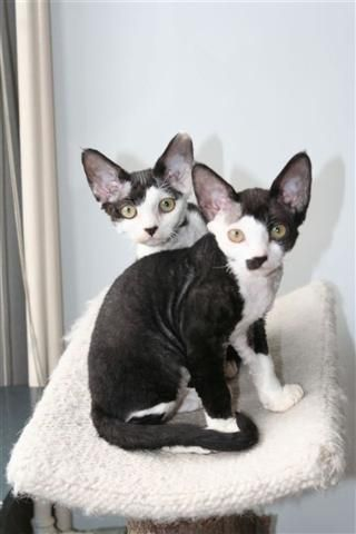 Top 5 Sweet Little Tiny Cats Breeds Devon Rex Cats Tiny Cats Rex Cat