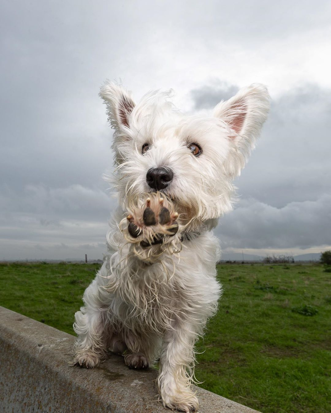 Pin by Elaine Kinsman on Wild about Westies (With images