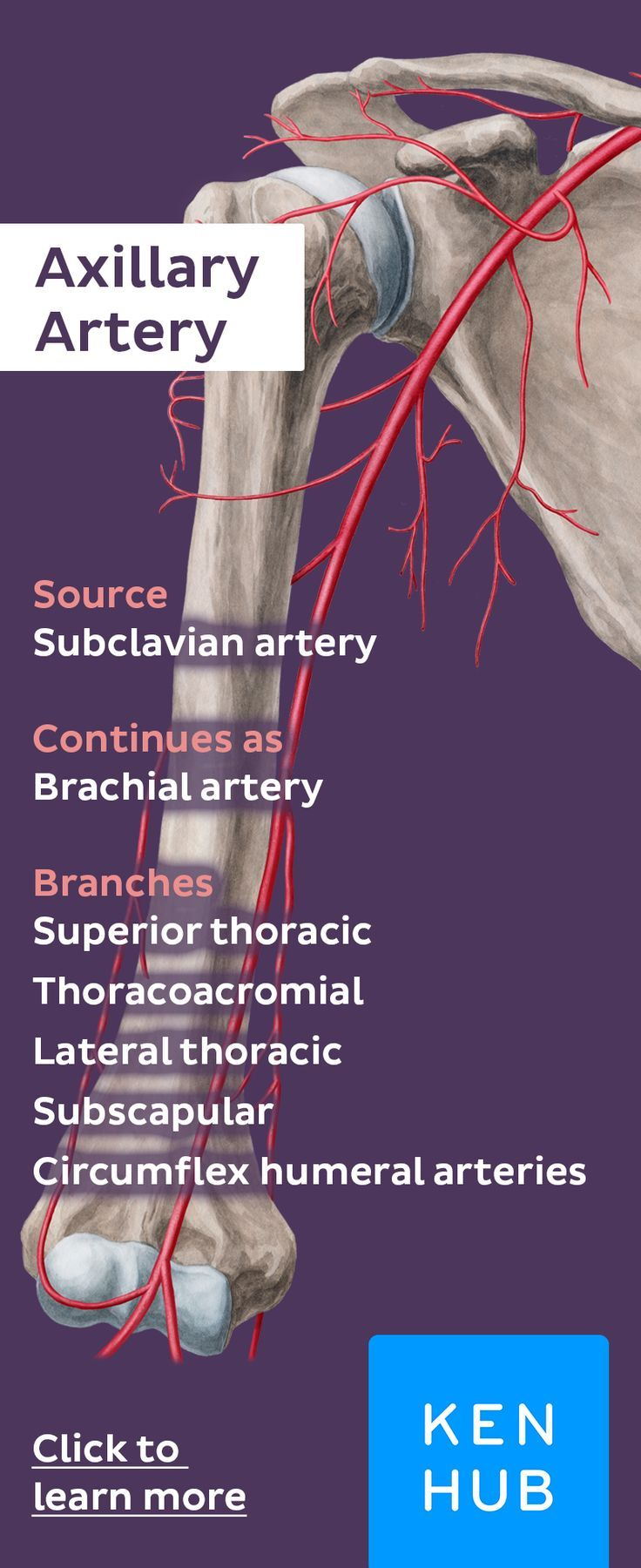 Axillary Artery | Pinterest | Anatomía y Músculos