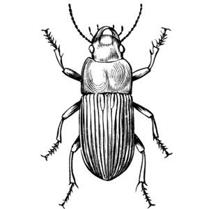 Ground Beetle Clipart Beetle Drawing Entomology Art Beetle Tattoo