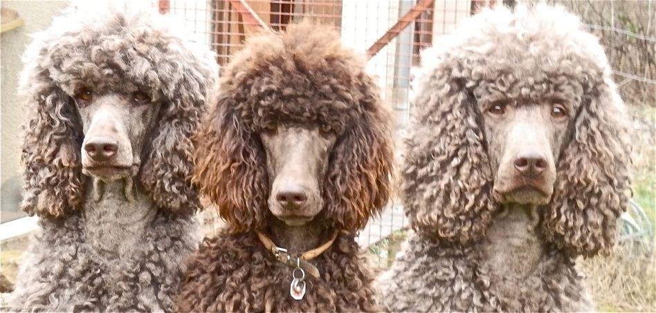 Meine Lieblings Fotos Hunde Hunde Fotos Pudel