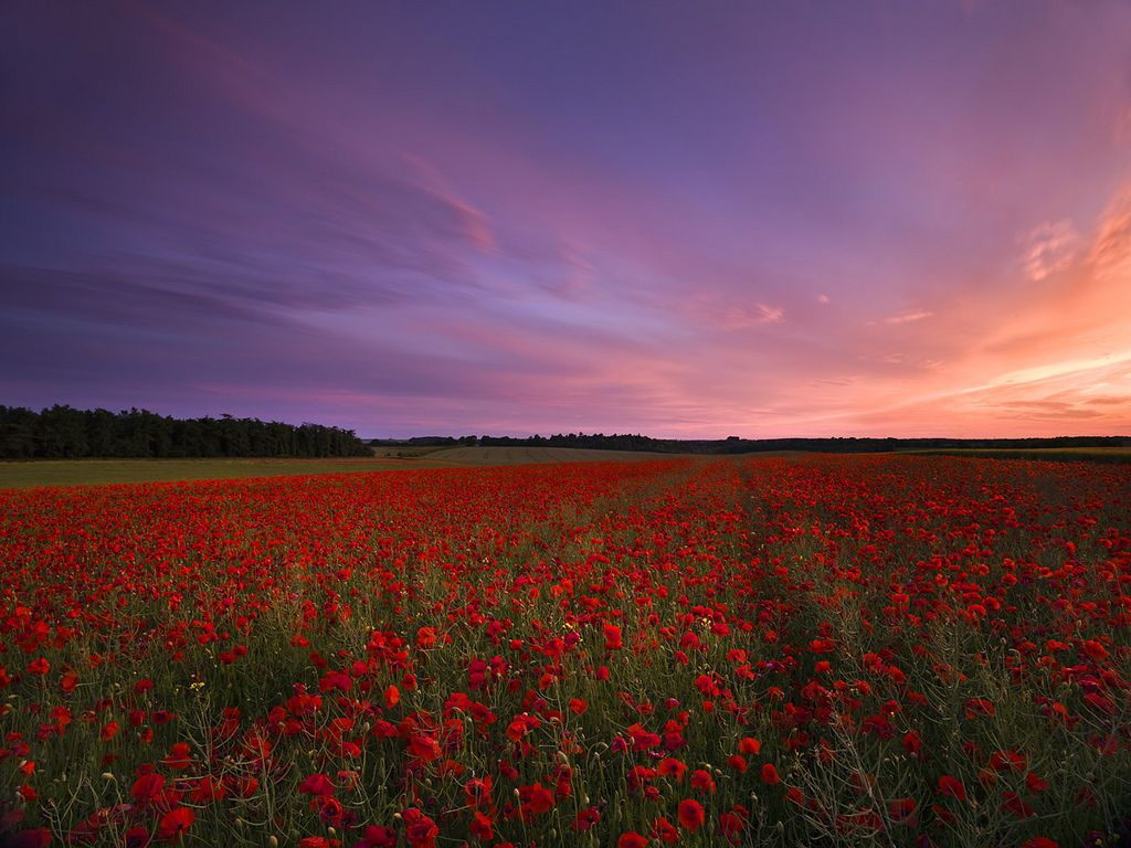Wiltshire Poppies | Flickr - Photo Sharing!