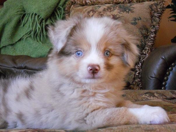 Our Precious Harlem From Lulus Lil Aussies Toy Australian