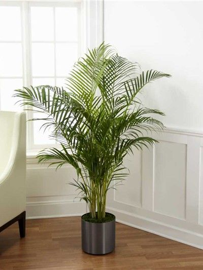 Palm Tree House Plant Ftd C28 4891 For The Home Palm