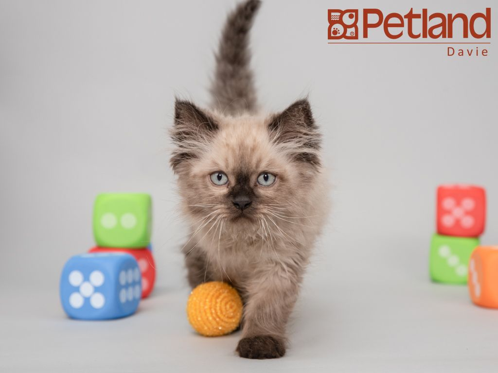 Puppies For Sale Petland Florida Persian Kittens For Sale Persian Kittens Puppies For Sale