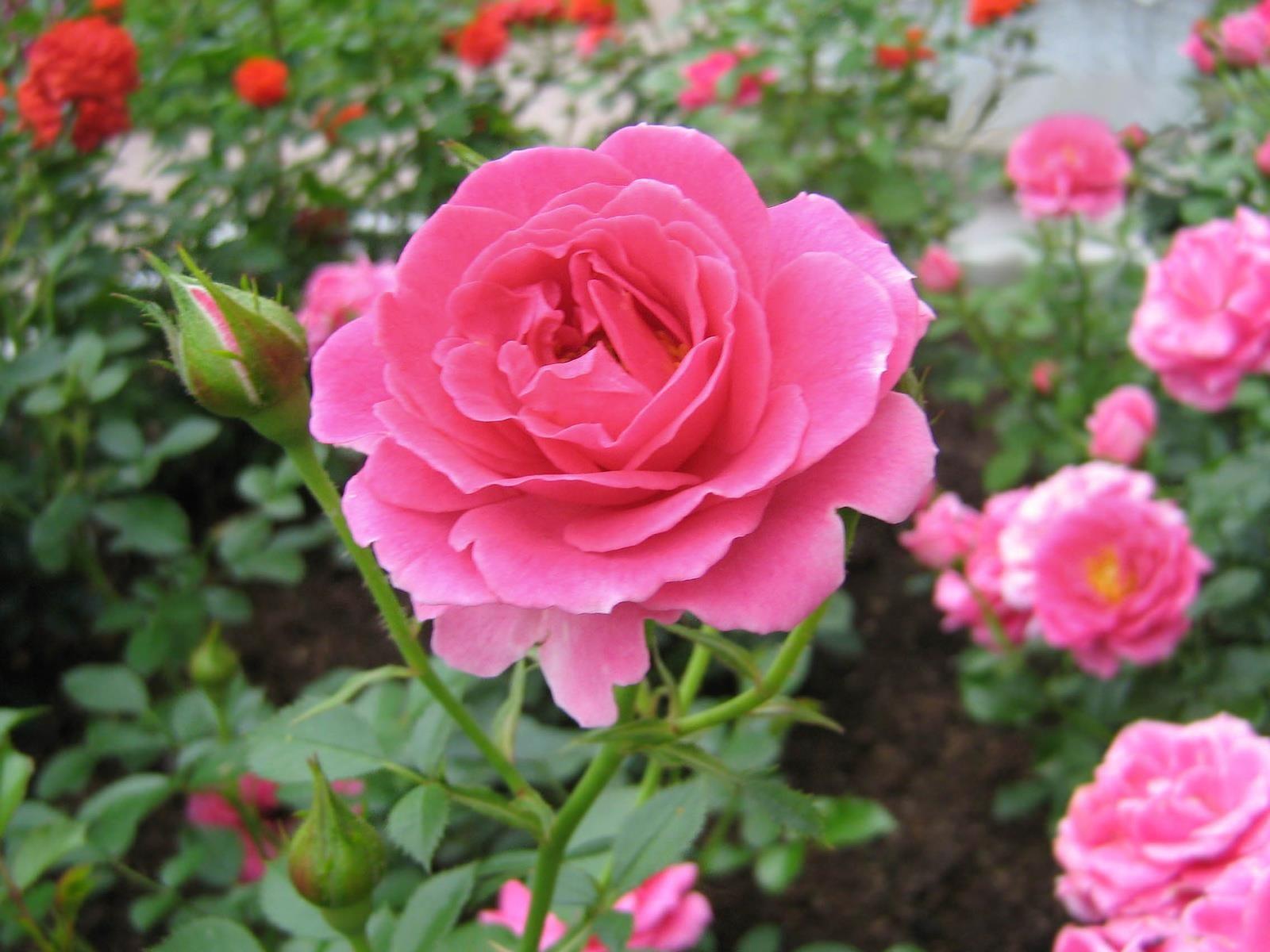 bellerose10  blumen rosa garten schöne blumen