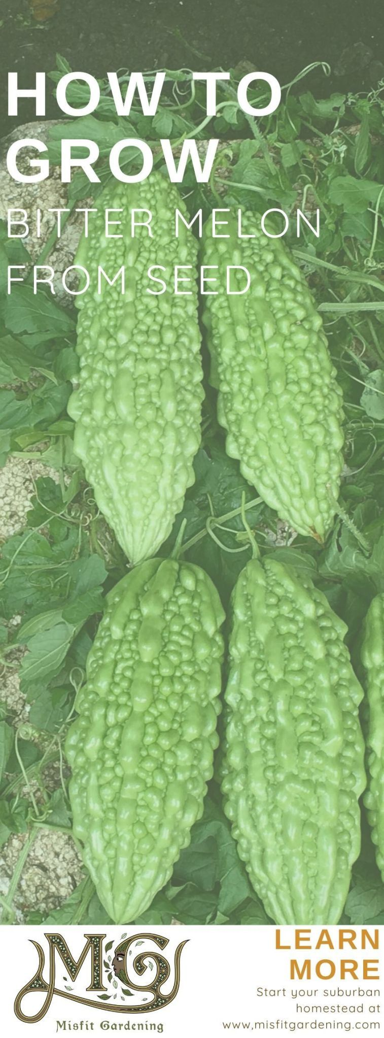 How To Grow Bitter Melon In 2020 Bitter Melon Seed 400 x 300