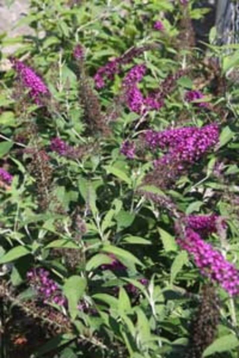 Question I Planted Two Butterfly Bushes One Reached 5 Feet E Other 4 Should I Cut Them Back This Fall Or Wait Until Spring Answer F
