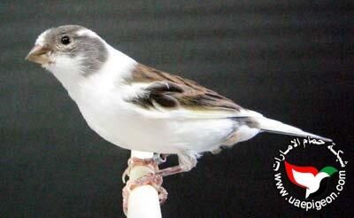 Pin On أنواع طيور الكناري Canary