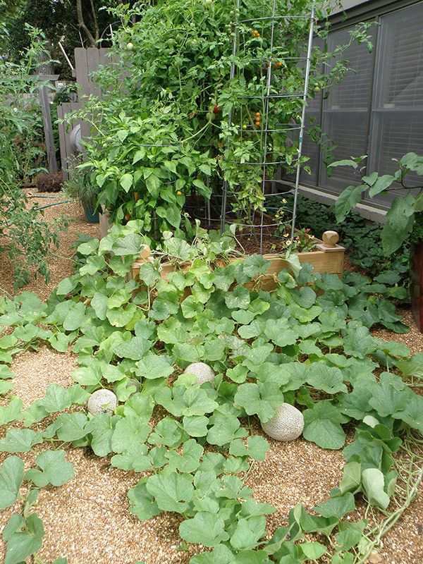 Top 10 Tips And Advice On How To Grow Cantaloupes Growing