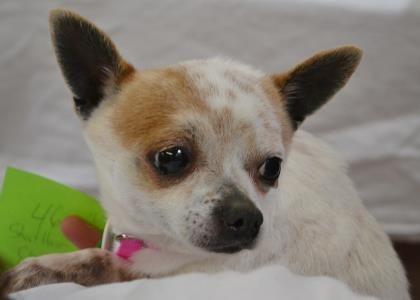 Petango Com Meet Harley A 4 Years 8 Months Chihuahua Short