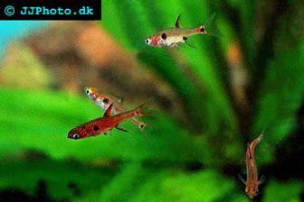 The Dwarf Rasbora Is A Very Peaceful Species It Is A Shoaling Fish