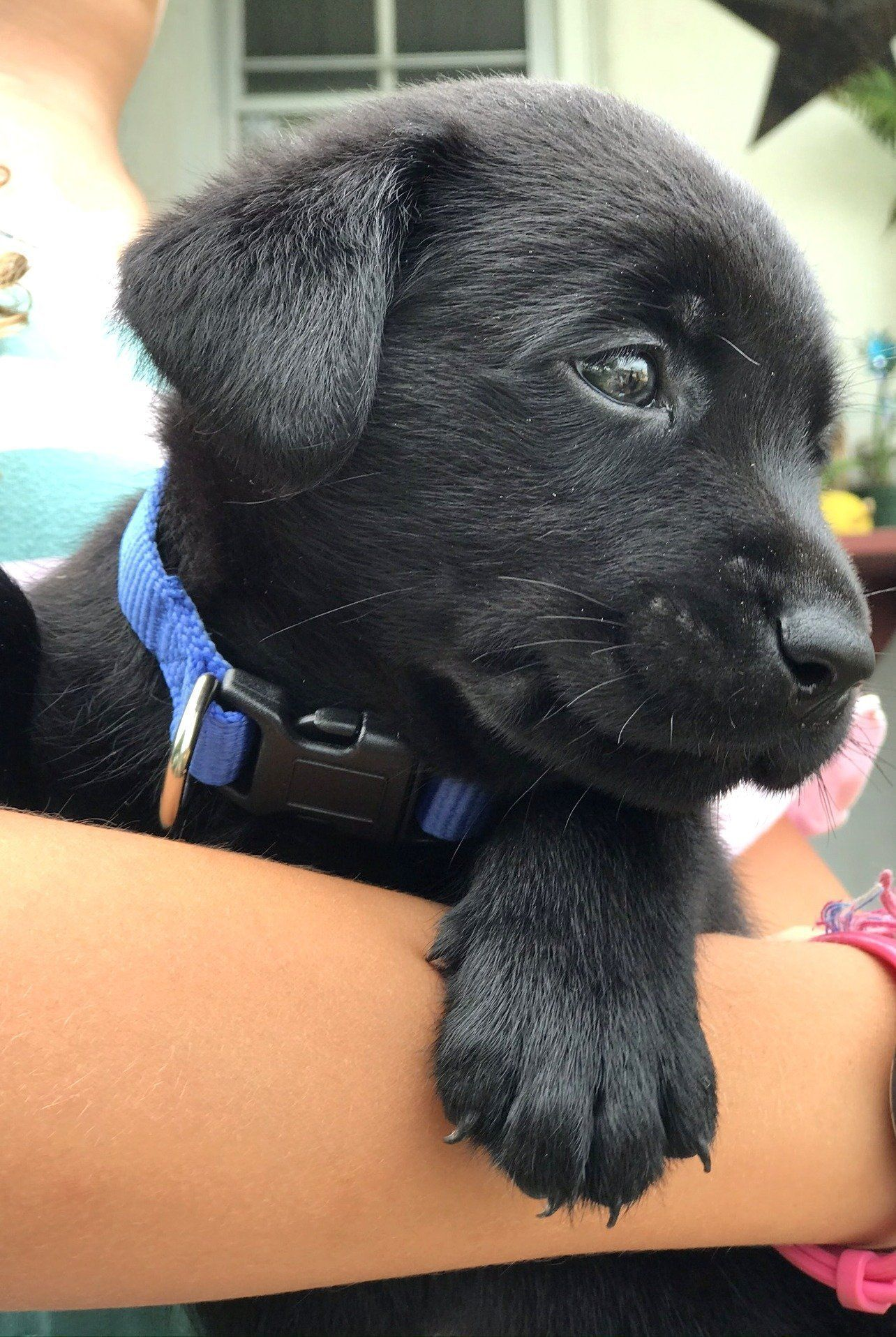 Bluegrass male black labrador retriever lab puppy in new