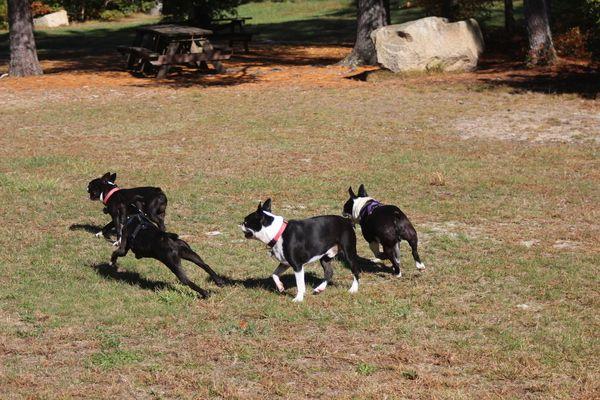 The Westport Boston Terrier Meetup Group Westport Ma Meetup Boston Terrier Boston Terrier Lover Pets