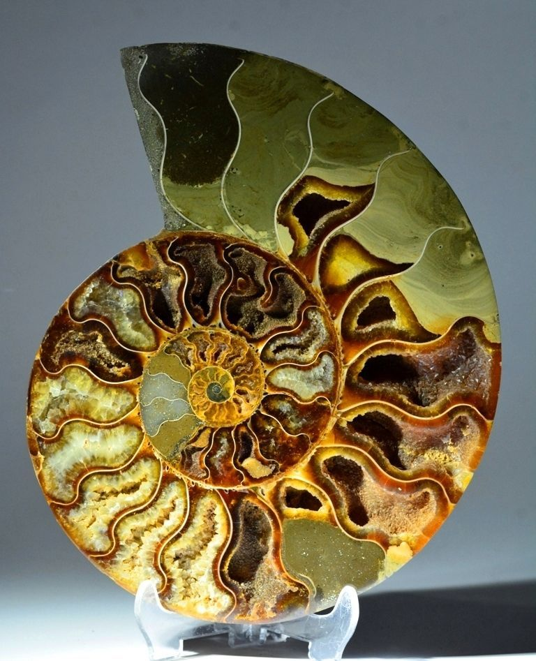 Amazing Natural Ammonite Polished Fossilized Sliced Set Of Two Shell Ammonite For Beautiful Jewelry Making Free Drilling On Request M-17
