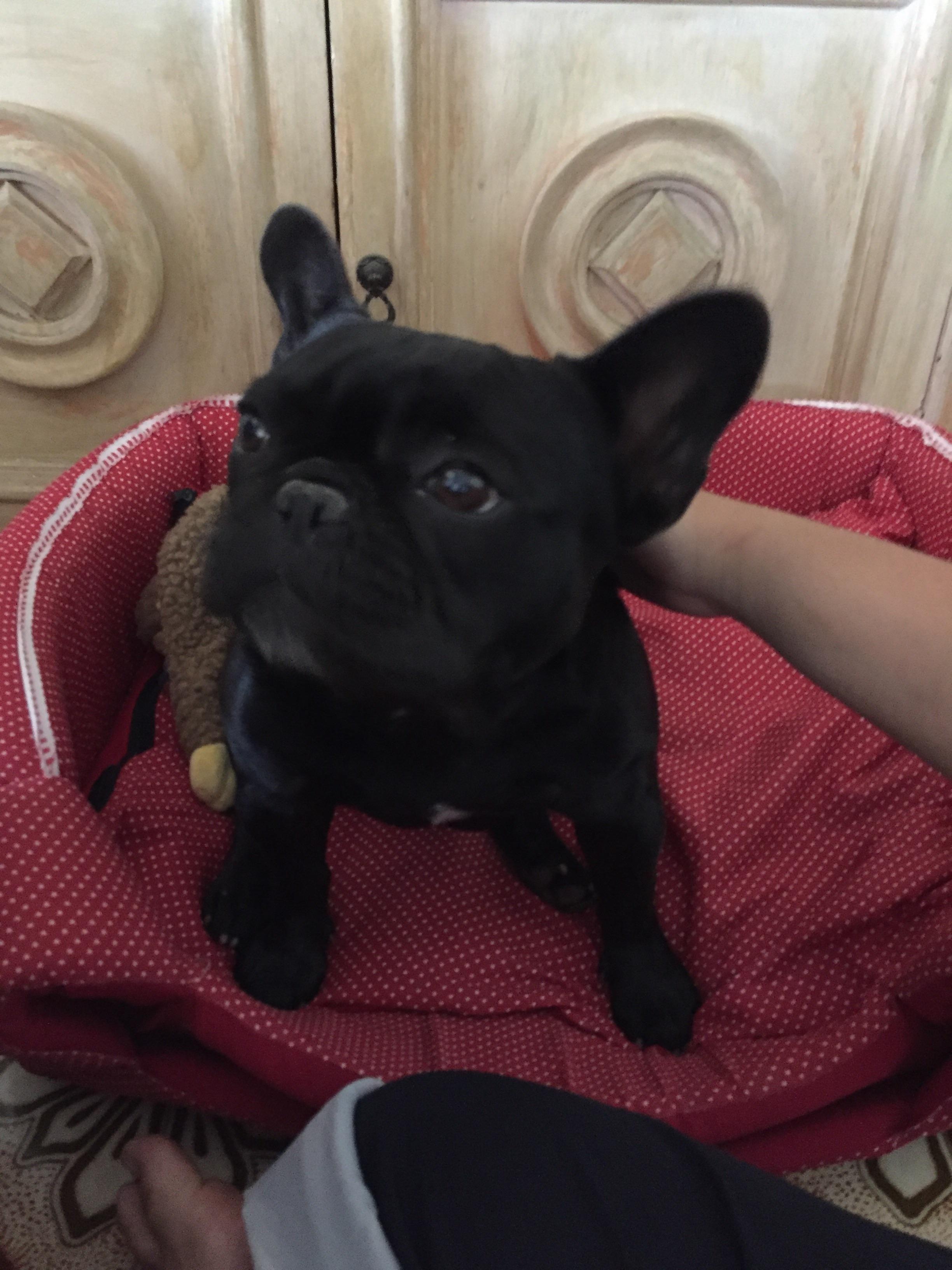 Frenchie puppy french bulldog dog french bulldog