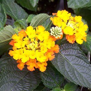 Bandana Orange Sunrise Lantana Garden Lantana Plant Annual