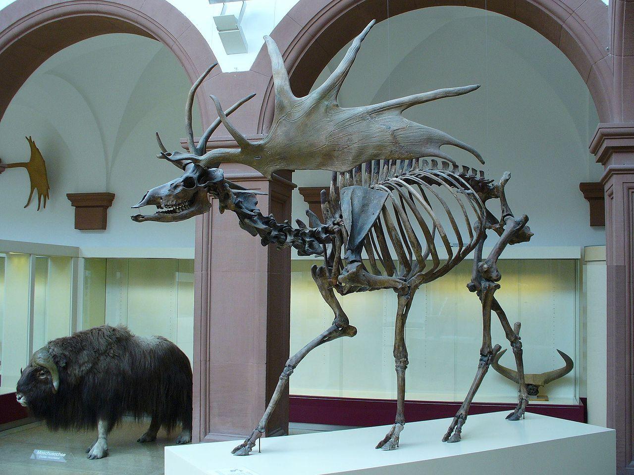 1280px-Irish_Elk_Side.jpg (1280×960) | Irish elk, Megafauna, Prehistoric  animals