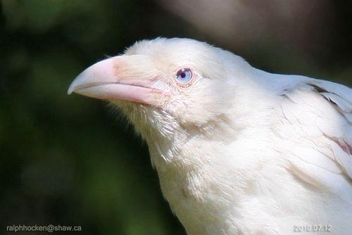 Canisalbus Albino Animals Pet Birds Crow