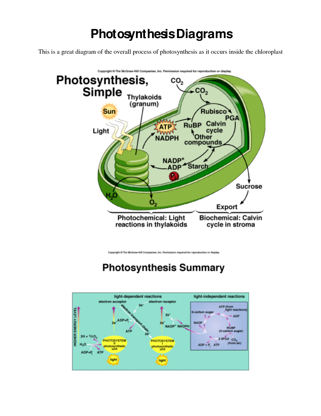 Photosynthesis And Cellular Respiration Worksheet