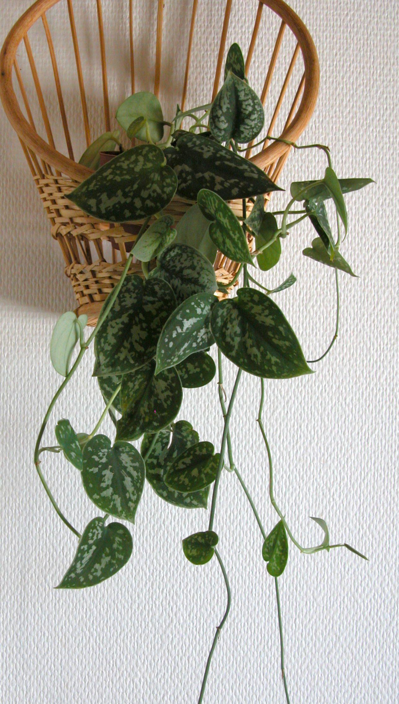 Tietoja kasvista Hopeaköynnös, Scindapsus pictus 'Argyraeus', silverranka. Hopeaköynnös köynnöstelee kiipimäjuurensa avulla. Amppelissa sen juuret eivät pääse multaan, jolloin se voi kitua.<br> Voi aiheuttaa paikallisia ärsytysoireita.