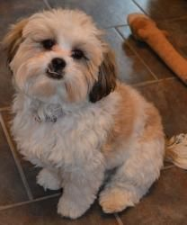 Allie Is An Adoptable Shih Tzu Dog In Bloomington Mn You Can