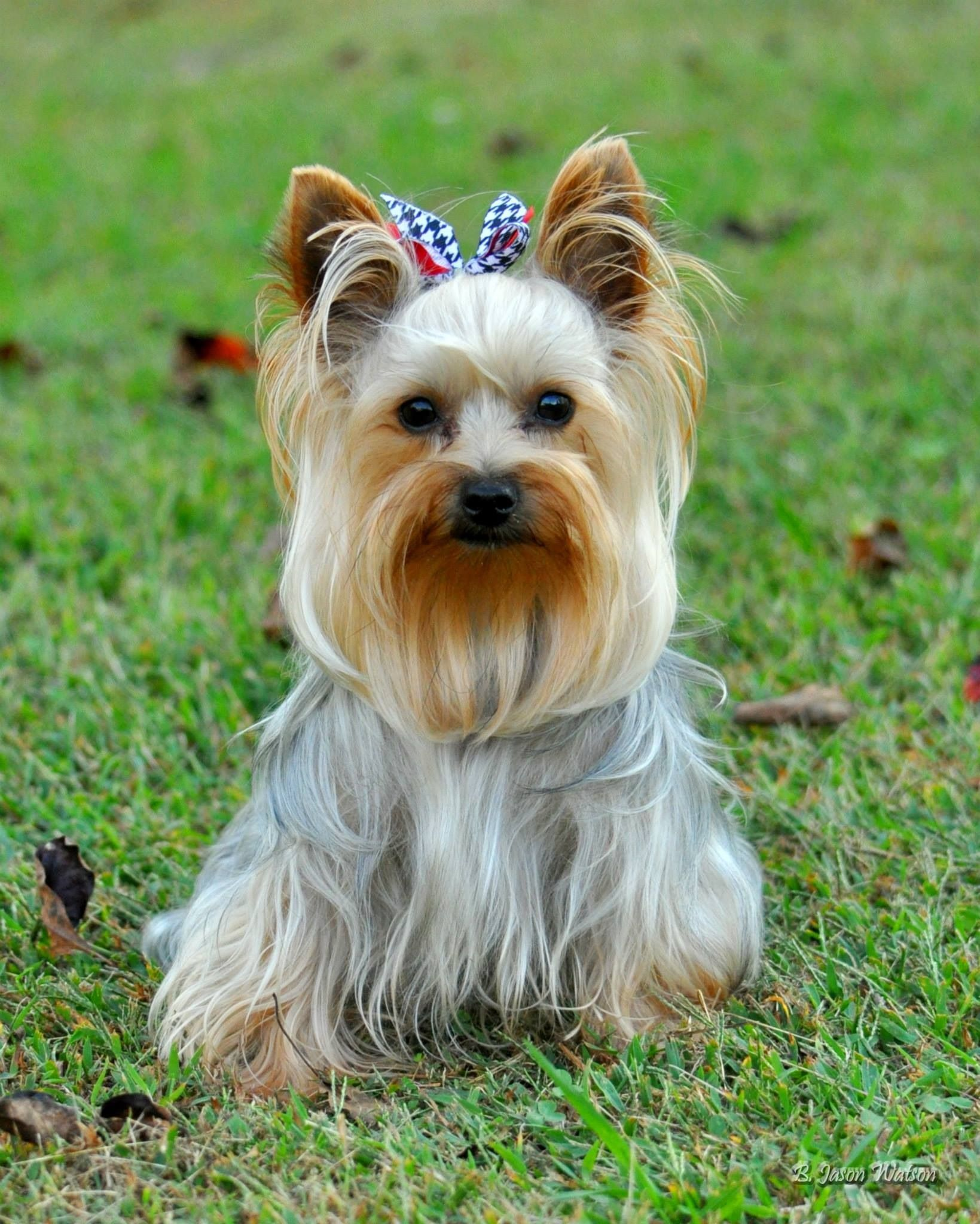 Dixie, Yorkshire Terrier