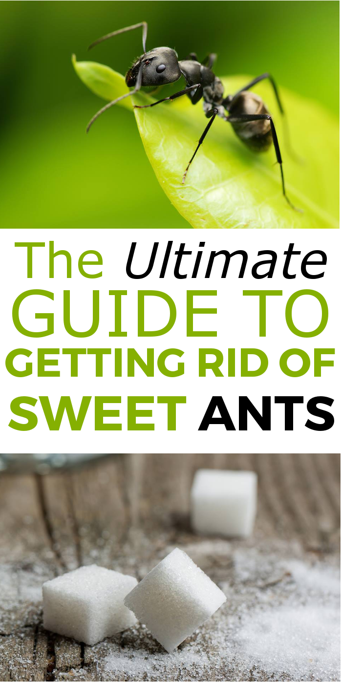 The Ultimate Guide On How To Get Rid Of Sweet Ants Naturally Ants Insect Control Pest Control
