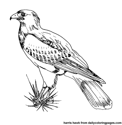 coloring book birds | texas harris hawk bird coloring pages | Glass ...