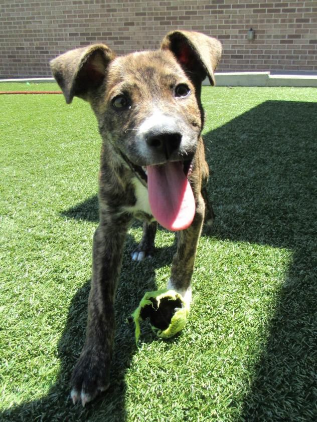 Adopt Flint on (With images) Terrier puppy, Animals