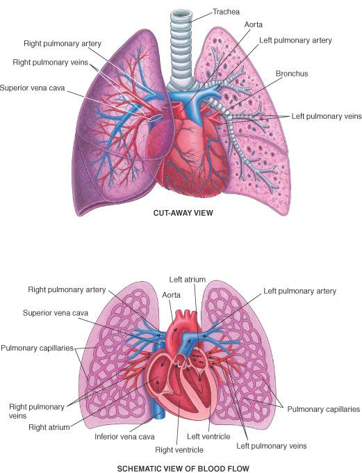 Heart-Lung Connections: I'm beginning to love the site of the Merck Manual Home Health Book. It has tons of great resources on medical and nursing topics. They offer various articles and even have a section for anatomical drawings, such as this one of the lungs and heart.