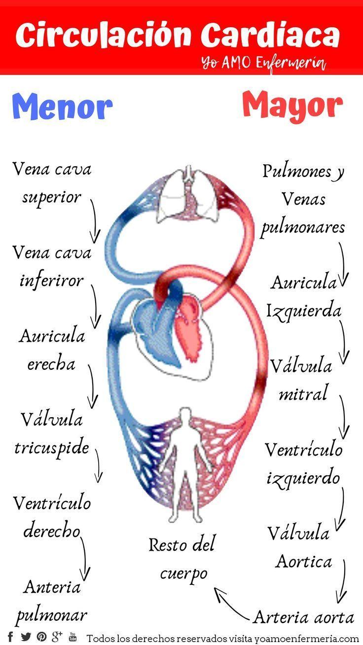 Circulación Cardíaca mayor y menor (Görüntüler ile