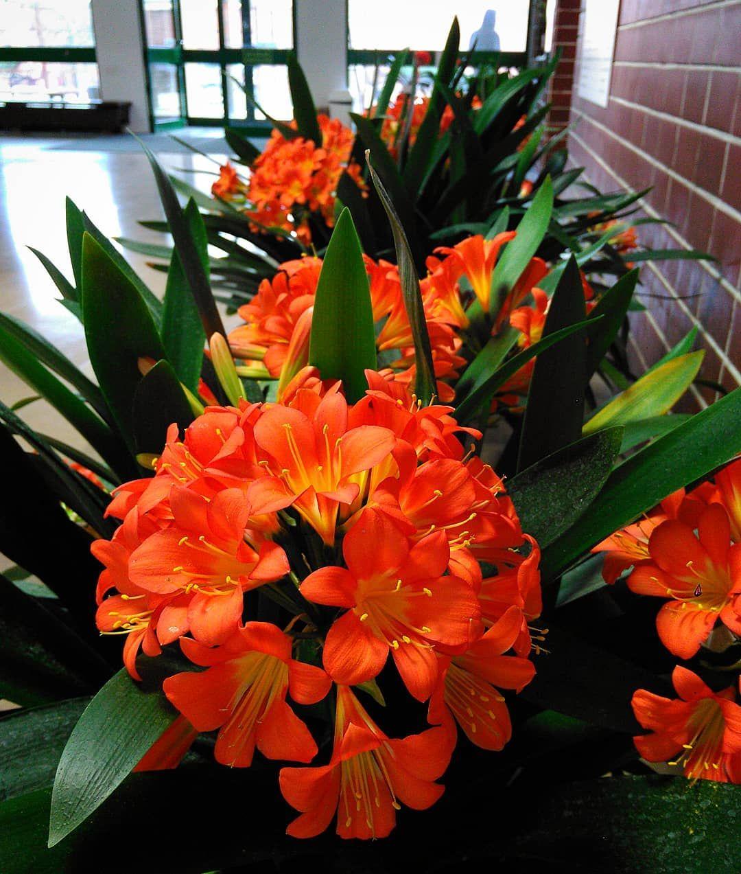Ach Te Kliwie Kliwia Clivia Kliwiacynobrowa Cliviaminiata Budynek35 Building35 Sggw Wuls Wobiak Ogrodnictwo Plants Patio