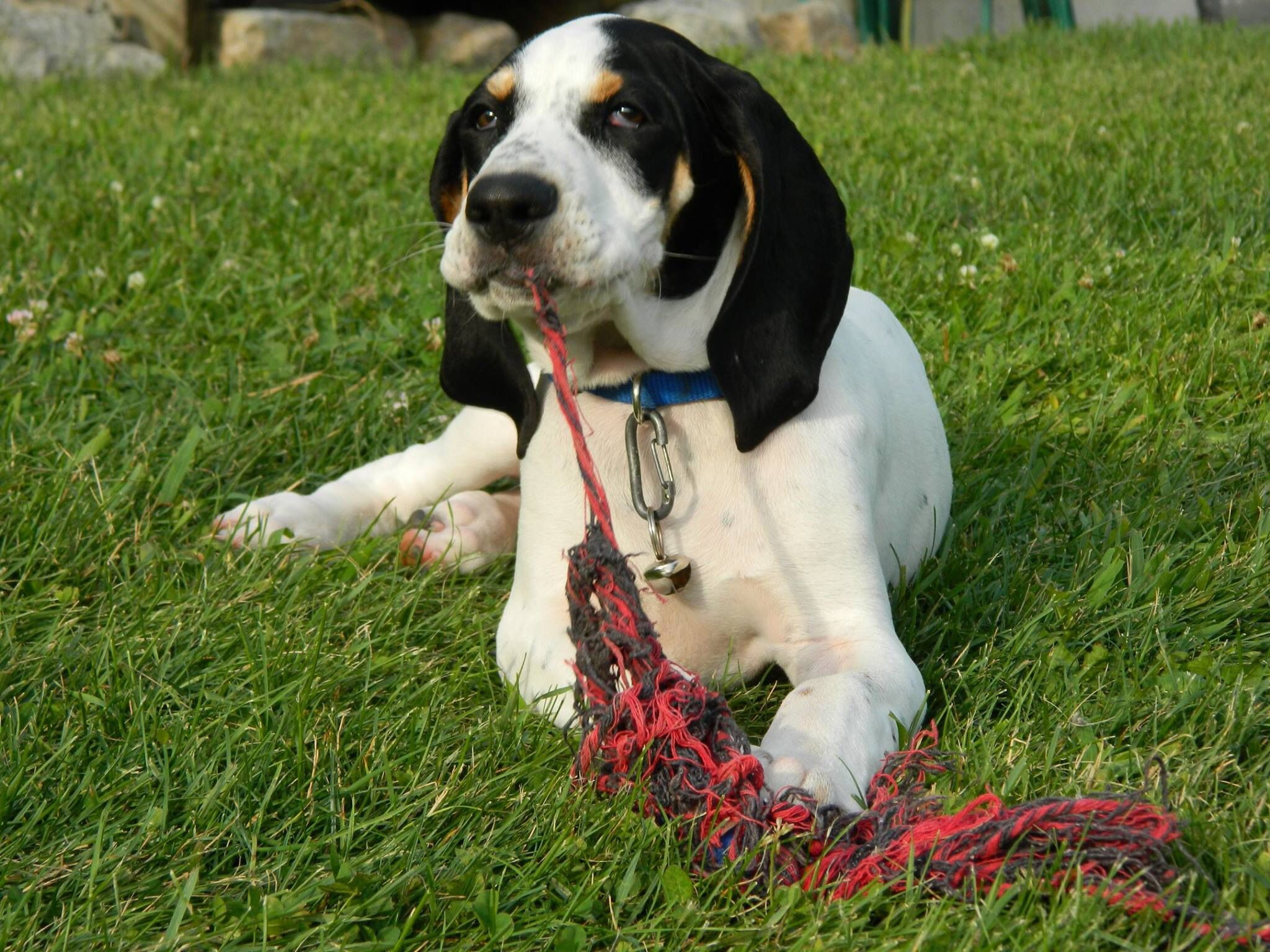 Cooter The Bluetick Coonhound Pup Is White Like His Grandma With