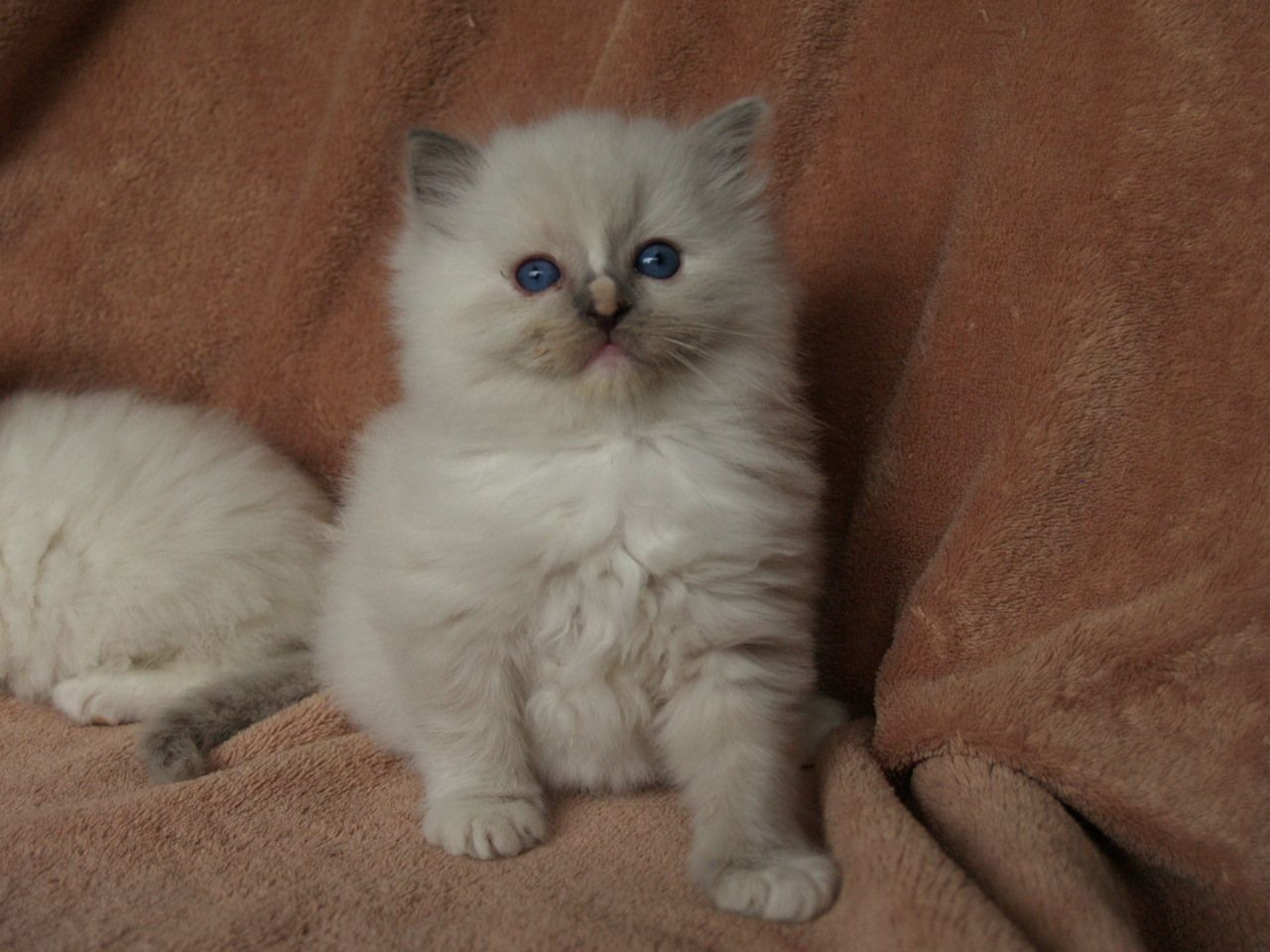 Blue Cream Mitted Tortie with blaze CATS RAGDOLLS