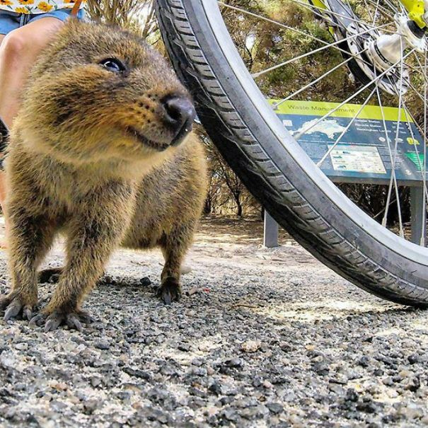 Quokkas Are The Happiest Animals In The World Quokka Happy - 15 photos that prove quokkas are the happiest animals in the world