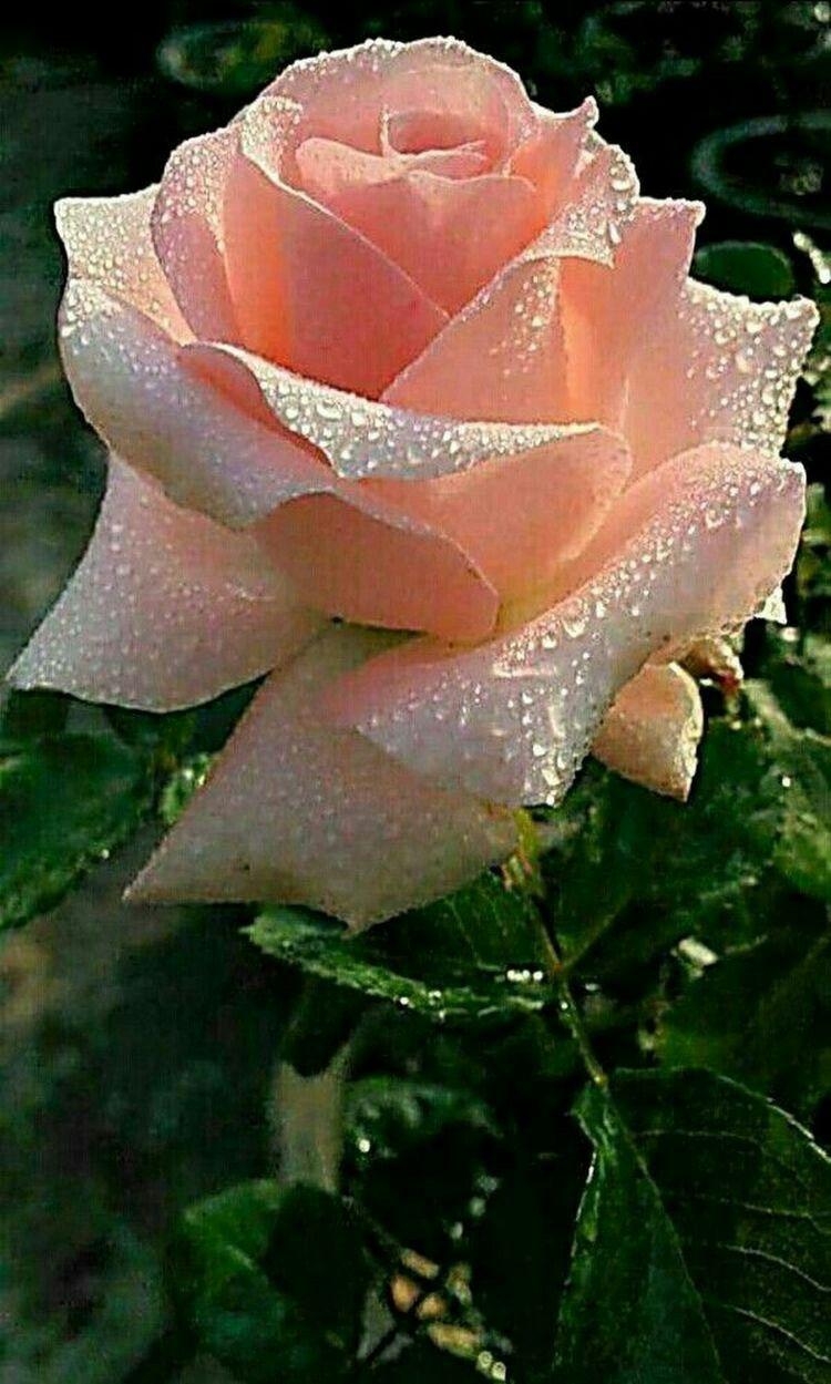 Foto Fiori.Rugiada Del Mattino Bellissimi Fiori Fiori Rosa Fiori