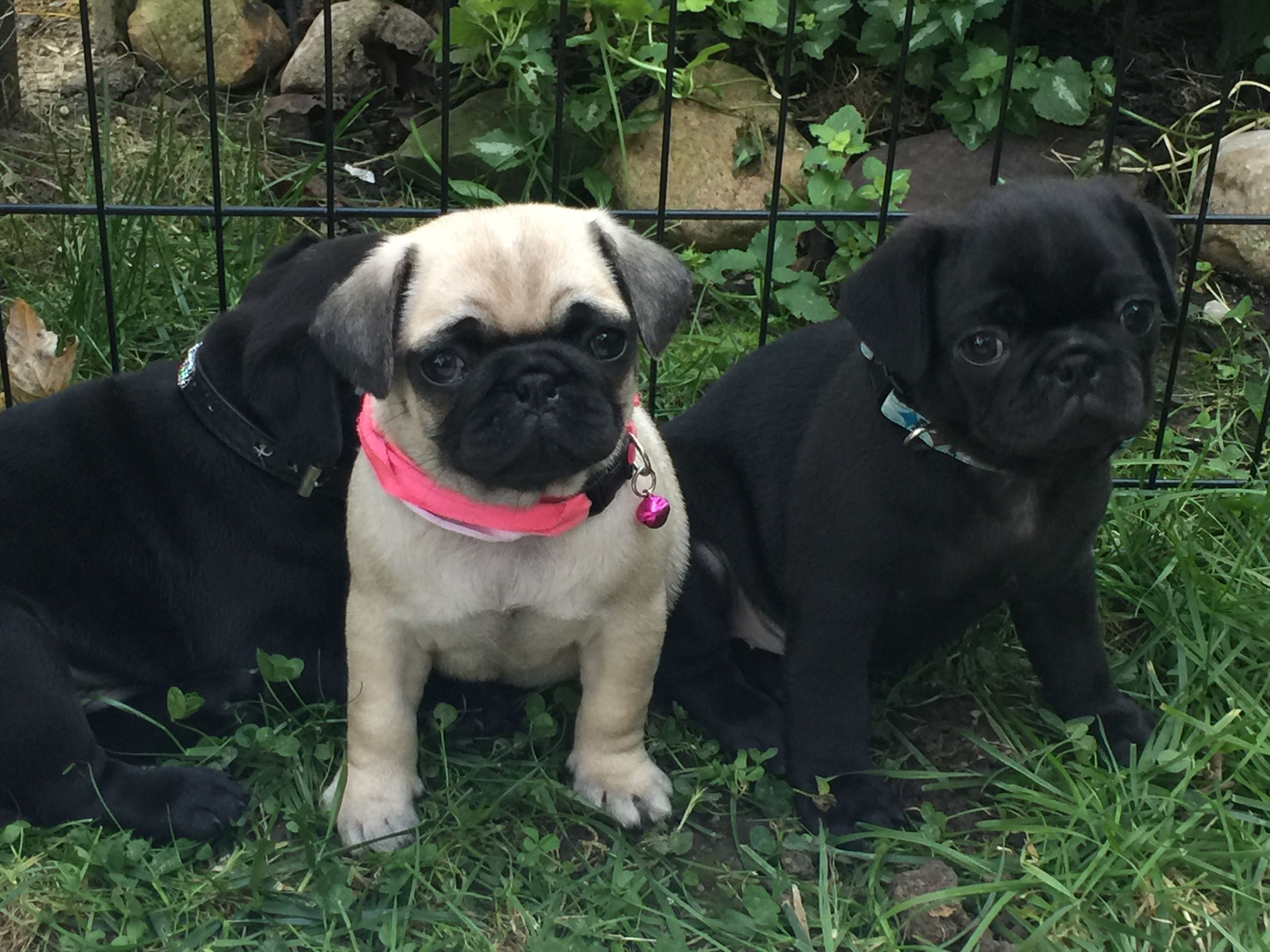 Puppy 6 Weeks Ready Now Fawn Female If You Re In Ohio And Interested Contact Me Dklars Icloud Com Pug Puppy Pugs Puppies