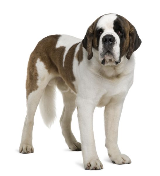 St Bernard Is A Giant Dog Average Weight Between 140 And 264 Lbs