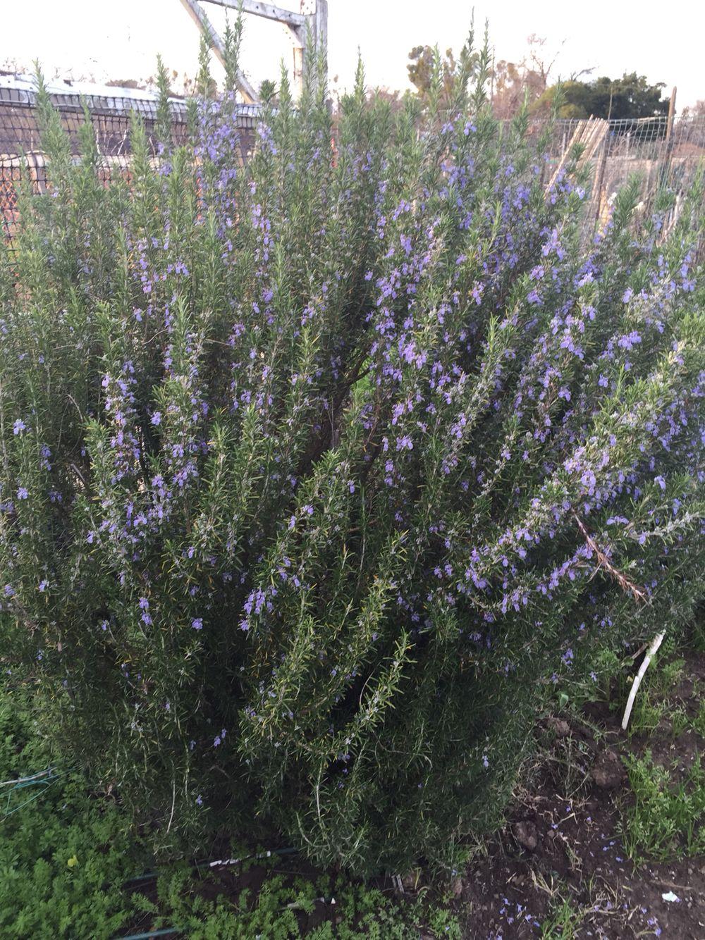 My Rosemary in bloom