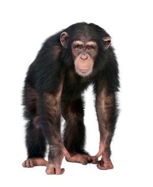 chimp.png (300×367)