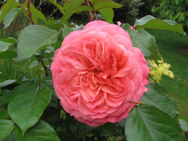 David Austin Collection - The Alnwick Rose