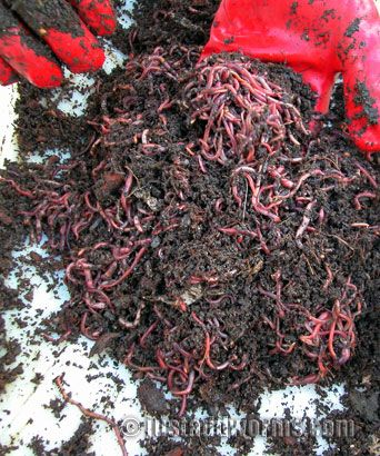 Harvesting Tiger Worms Worm Farm Garden Compost Worm Composting
