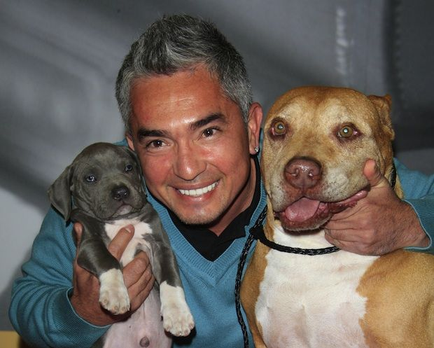 Cesar Millan Uses Pit Bulls In His Dog Training Demonstrations