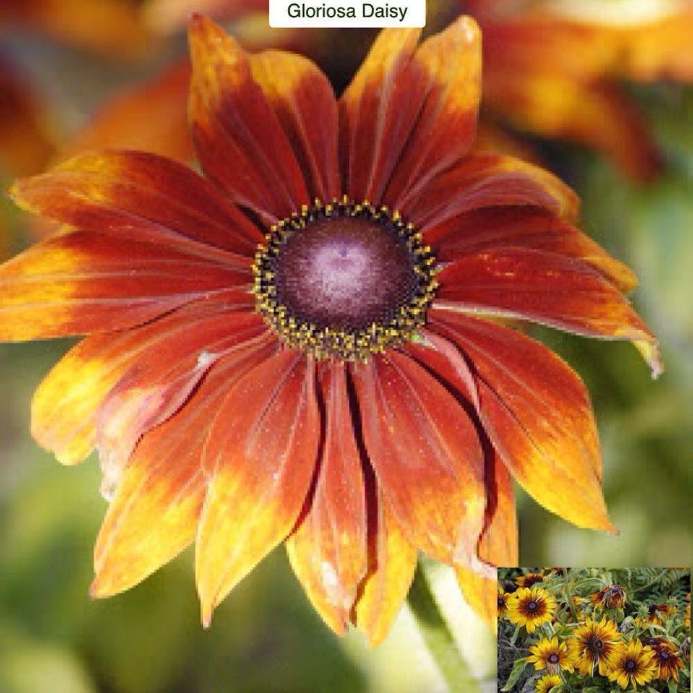 Gloriosa daisy rudbeckia hirta