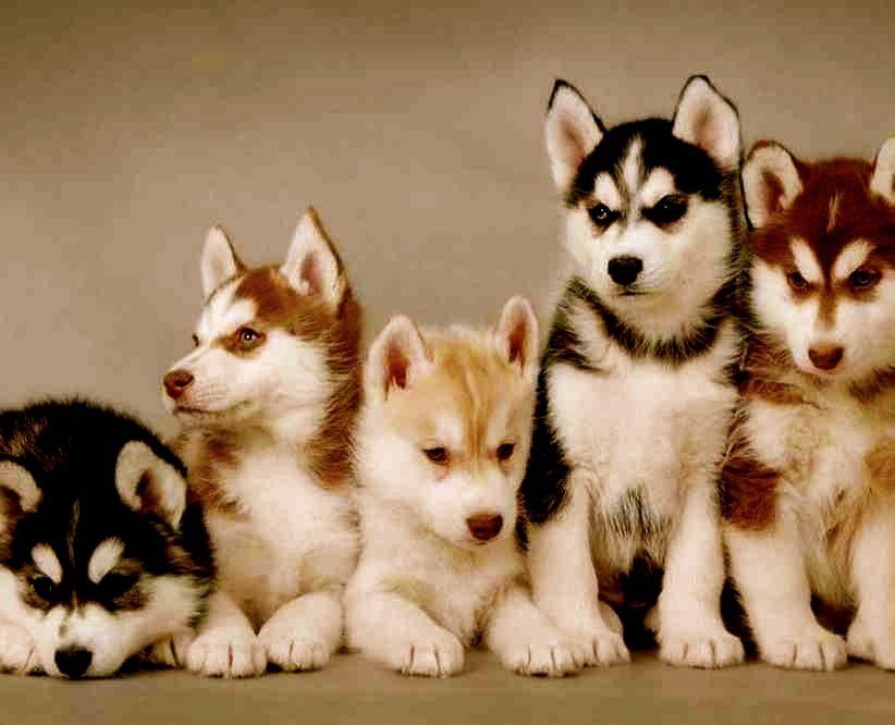 Cachorros Lobos Siberianos Buscar Con Google Wuaus Husky Puppy
