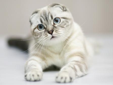 Scottish Fold Cats - B...