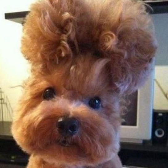 Dog Haircuts Gone Really Wrong , I think this would