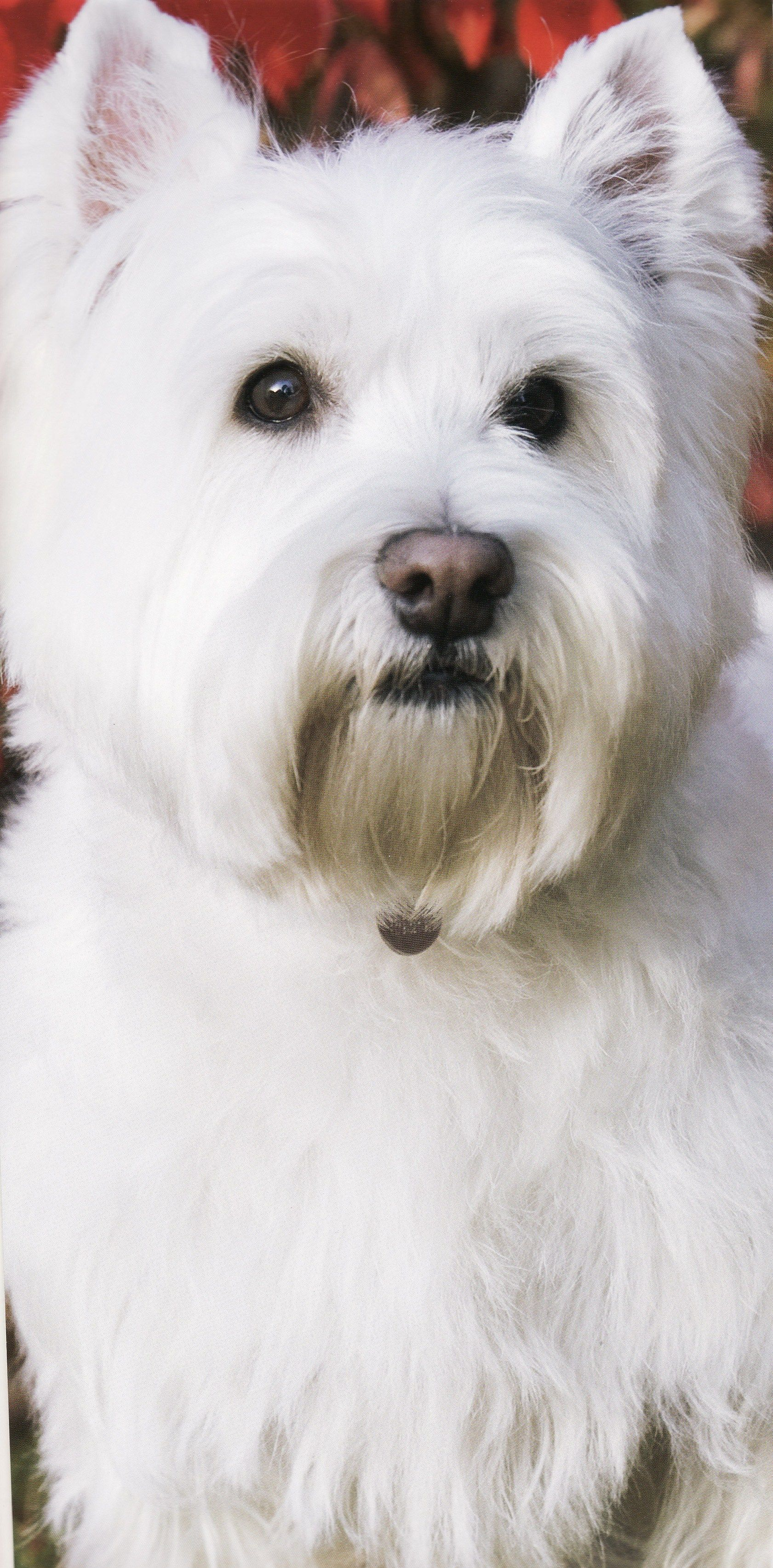 old perfect sit bichon sheds the paw dogs shedding frise dont that practical dog t pooches don years shed bigstock