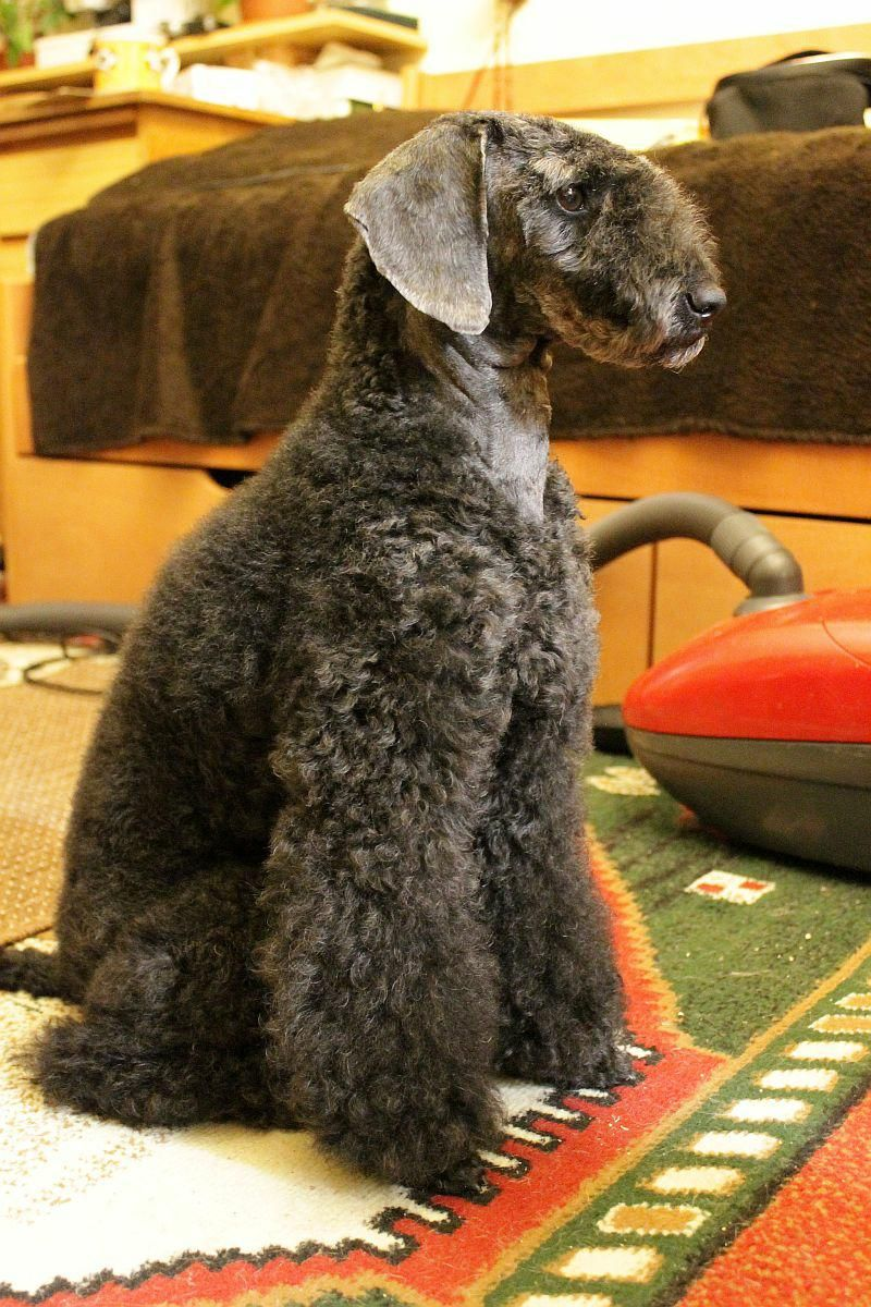 i dont know what this poodle clip is called but it would ...